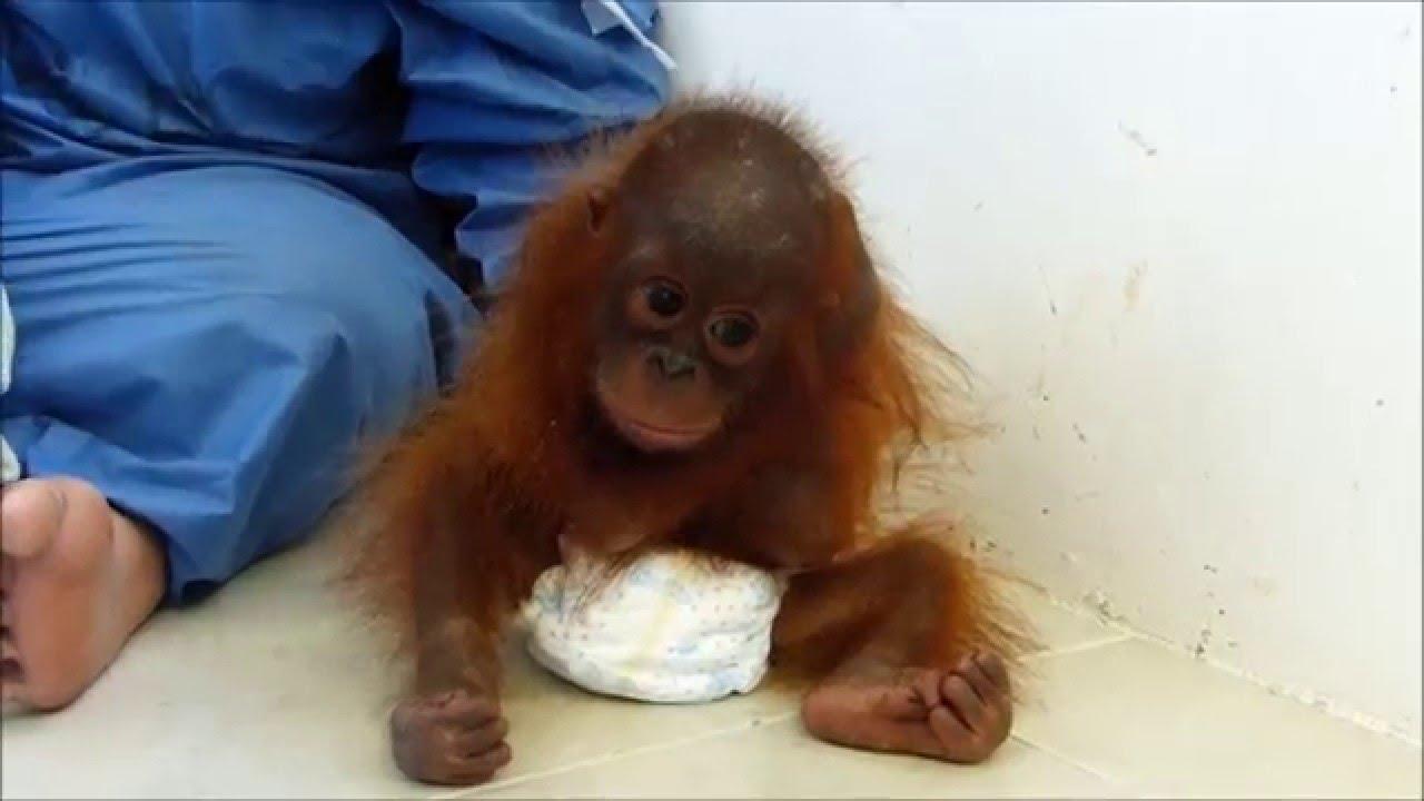 Beba orangutana grli samu sebe
