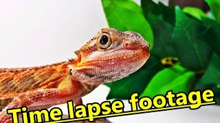 Bearded dragon time lapse