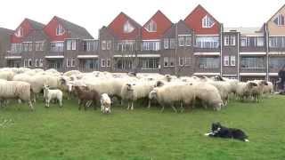 Schapen nemen Heerenveens gras te grazen