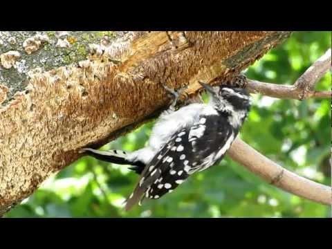 Downy Woodpecker Nest Downy Woodpecker Building