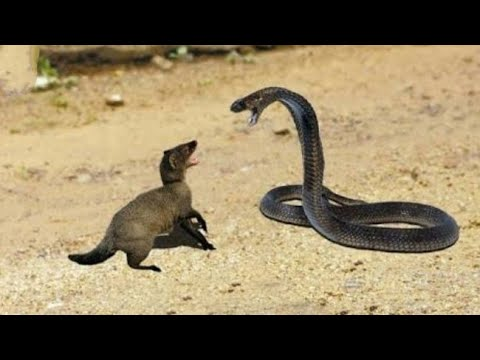 | Snake king cobra vs mongoose real fight big battle in the desert |most amazing attacks | animals