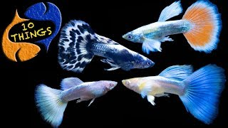Guppy Fish Care, 10 Things You Should Know About Guppies! Great Beginner Fish!