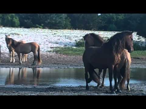 Wild Horses of the Crystal Coast: Horse Fight