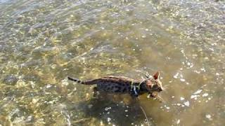 Cat Owner Goes Double Rainbow When Bengal Kitten Swims On Beach