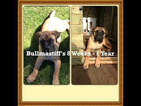 Bullmastiff's 8 Week - 1 Year Picture Video