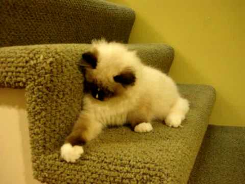 0 Charlie   A Seal Mitted with an Hourglass Blaze Ragdoll Cat