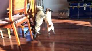 Pug vs Cat : Who Will Win?