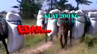 Video Kuda pengangkut padi MP3, 3GP, MP4, WEBM, AVI, FLV Desember 2017