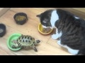 Small turtle attacks a fluffy cat