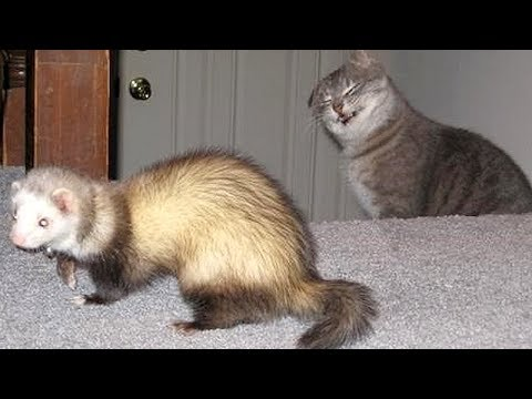 Funny cat videos - FERRETS or CATS? You DECIDE which animals are FUNNIER! - Get ready to DIE FROM LAUGHING!