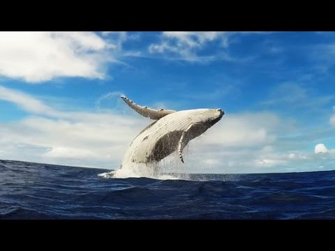 GoPro: Humpback Whale Breach