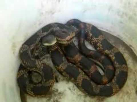 Black And Yellow Steelers Remix Lyrics. Black Rat Snake