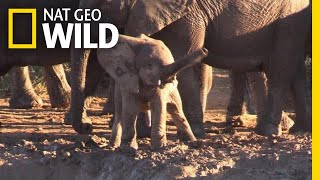 Why Is This Baby Elephant Swinging Its Trunk Like a Helicopter? | Nat Geo Wild by Nat Geo WILD