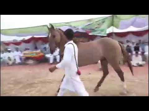 Video Siakh mela 2018  horse dance. RAJA ARFAN AYUB download in MP3, 3GP, MP4, WEBM, AVI, FLV January 2017