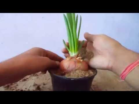 How to Easy Grow Onion from Onion in the Pot | Fast Grow Pyaaj // Mammal Bonsai