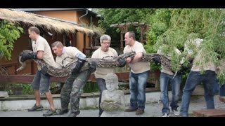 A snake farm in Germany has a new guest and she's pretty huge.Pictures showed staff at Osnabruck tackling the attraction's latest arrival – a python called Berta who measures a whopping 7.13m long and tips the scales at 170 kg.