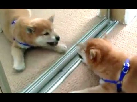 Funny Dogs Barking At Themselves In Mirrors Compilation 2016