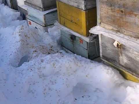 весенний облет пчел - убирать ( укрывать ) снег при облете пчел или нет