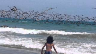 Hundreds Of Pelicans Dive For Fish In A Feeding Frenzy - Must See!
