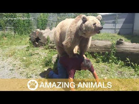 Leppoisaa leikkimistä karhujen kanssa