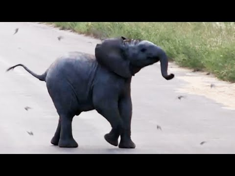 Adorable Baby Elephant Frolics with Birds