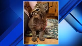 Family's new kitten turns out to be a bobcat