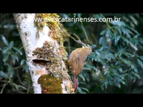 Arapaçu-de-garganta-branca - Cristiano Voitina