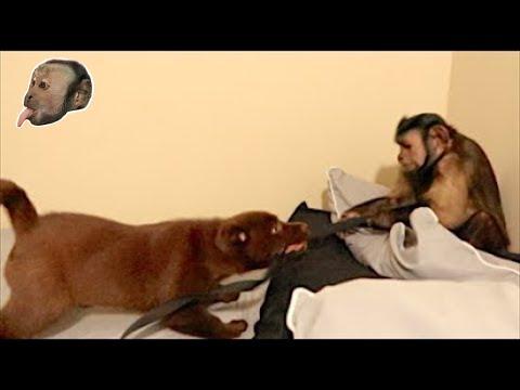 Koiranpennun ja apinan leikkihetki