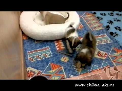 "Chihuahua puppies from chihuahua kennel ""Akselans"""