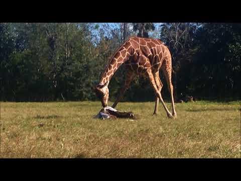 Jacksonville/USA: Giraffengeburt im Jacksonville Zoo -  ...