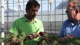 #603 Wie degustiert man eine Tomate