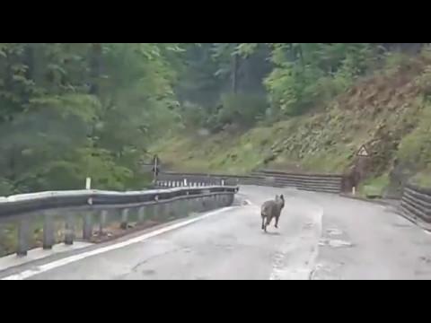 Begegnung mit dem Wolf
