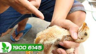 Chăn nuôi | Tiêm vacxin nhưng gà vẫn bị bệnh: Lý do bất ngờ