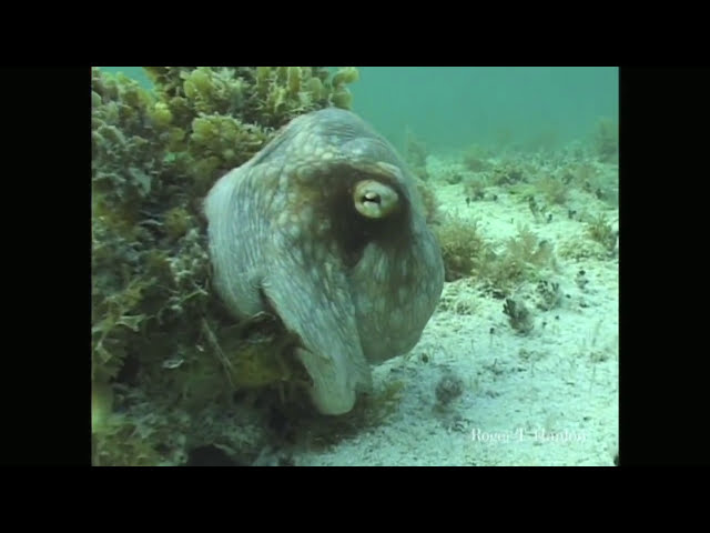 Octopus camouflage: Roger Hanlon. Phil Parker: Mind Brain and Body
