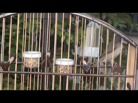 Galeria de Vídeos Coleiro Buriti para Roda 2014