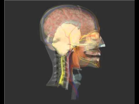 El Cráneo en 3D. Huesos