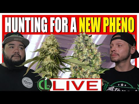 🔴PHENO HUNTING Tips to Find the Dankest Dank You've Ever Smoked [LIVE TUESDAY GROW TALK]