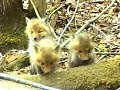Liška obecná (Vulpes vulpes) - mláďata. - video