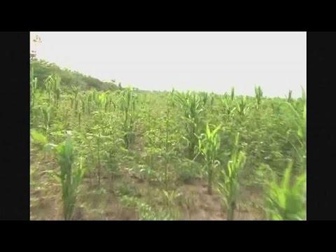 Βολιβία: Eπιθέσεις από ακρίδες καταστρέφουν τις καλλιέργειες