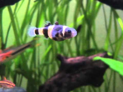 Bumble Bee Goby in a planted community tank.