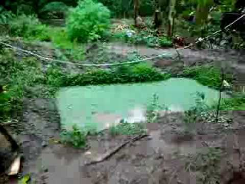 Backyard tilapia raising with azolla and malunggay