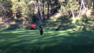 Watch This Baby Bear Play With A Golf Flag Will Make You Happy
