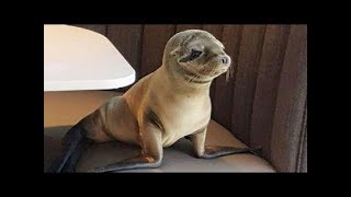 Starving Sea Lion Pup Sneaks Into Upscale Seafood Restaurant