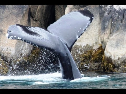 briczar22 - WHALE TAIL!: Safari Alaska 3. The last part of our sea voyage found us on my mission to get a whale tail photo! Some seal lions, coastal mountain goats, and ...