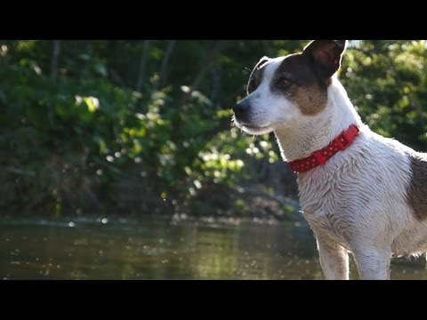 amazing jack russell: catch a fish!