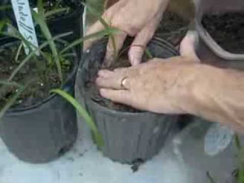 how to transplant amaryllis plants