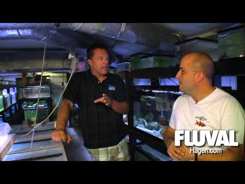 cichlid - Master Breeder Dave Hale and Something Fishy Inc on cichlids, fish rooms, breeding fish, fry, Monster fish , predators and sting rays.