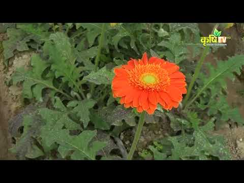 Puspanjali- Hightech greenhouse-Gerbera & Carnation Production