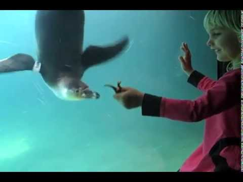 Karma the Penguin Gets Playful at the Santa Barbara Zoo
