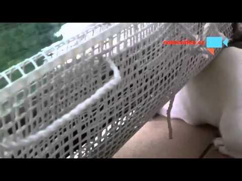 pes hlídá z balkonu